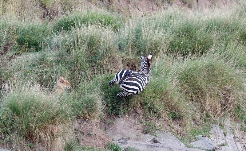 This zebra had become separated from the rest of his family and didnt see the lioness waiting to ambush him as he crossed to join them