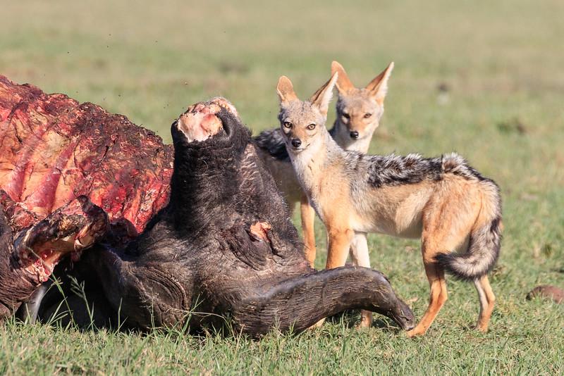 Firstly black-backed jackals...