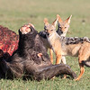 Firstly black-backed jackals...