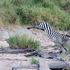 A kick from this zebra would have killed her had she been a few inches closer....