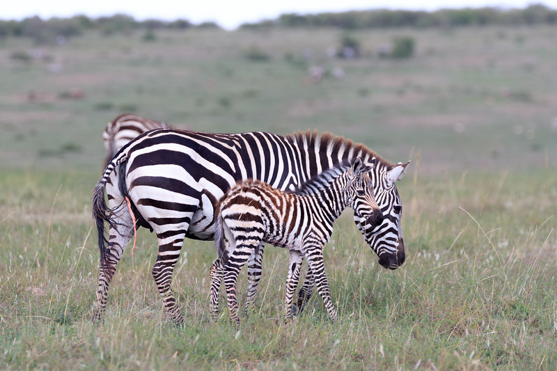 A newborn zebra calf, the umbilical cord still atteched to the mother