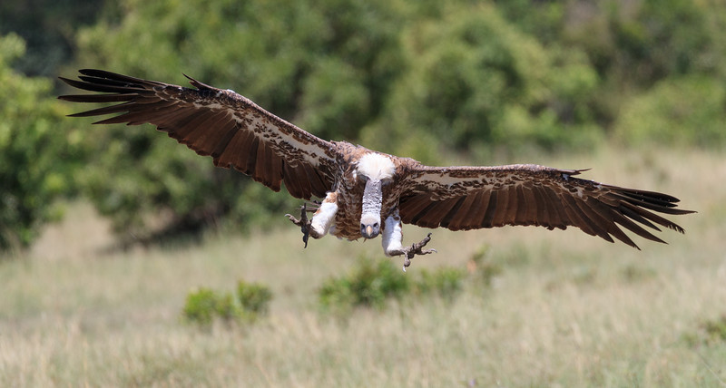Ruppell's griffon vultures are critically endangered but we saw many on this carcass