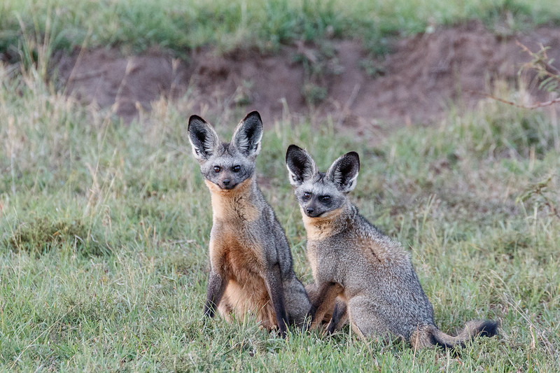 Adult bat-eared foxes near their den.  They are monogamous and mate for life