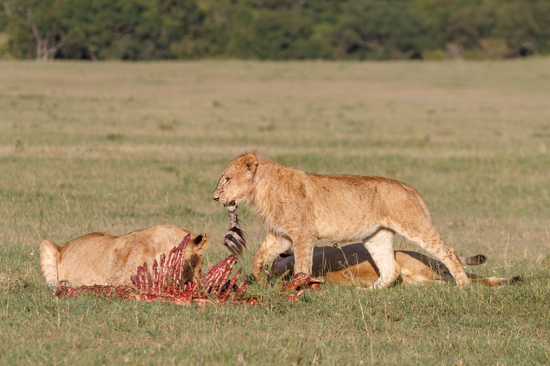 These two subadults were finishing off the remains of a zebra kill