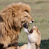 Lion love is always a tetchy affair!