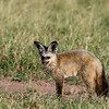 A subadult bat-eared fox searching for insects in the early evening