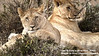 Young lions watchful at Masai Mara