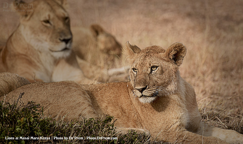 Lions Relaxing at Masai Mara Kenya Photo by Dr Prem