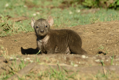 Brown Hyena Pup