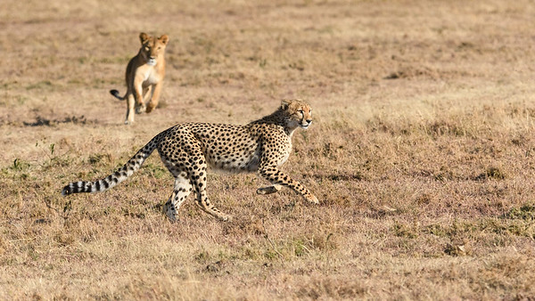 Cheetah and Lion Interaction
