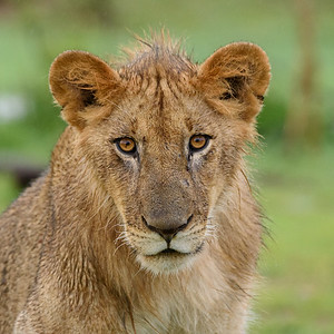 Juvenile Male Lion Portrait