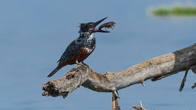 Giant Kingfisher with Prey