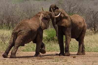 Elephants practice fighting
