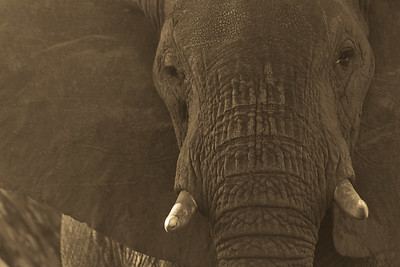 Elephant Matriarch Portrait