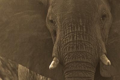 Elephant Matriarch Portrait