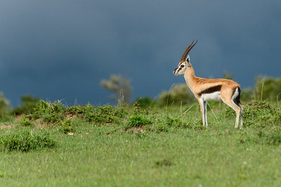 Approaching Storm - Thompson's gazelle