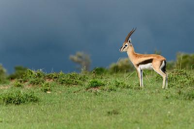 Approaching Storm - Thompson's gazelle