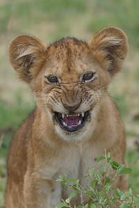 Lion Cub Snarling