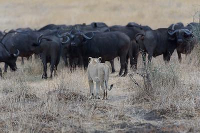 Lioness and Cape Bufffalo