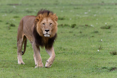 Big Black-maned Male Lion