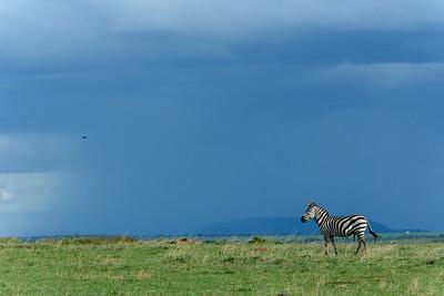 Before the Storm - Zebra