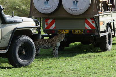 Leoaprd and Safari Vehcles