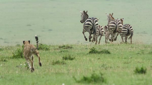 Cheetah Hunting Zebra