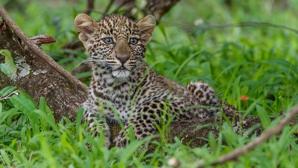 Leoapard Cub