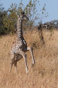Baby Giraffe Running