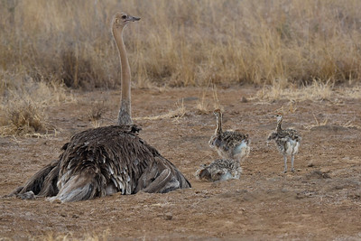 Female Ostrich and babies in Kenya