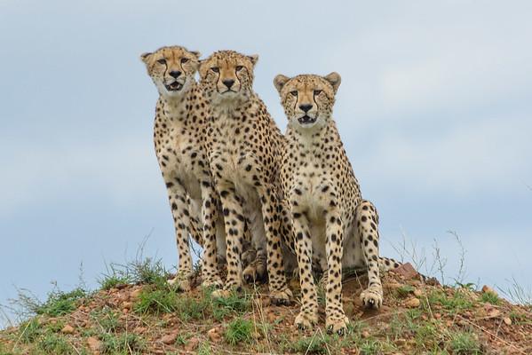 Cheetah Coalition of Males