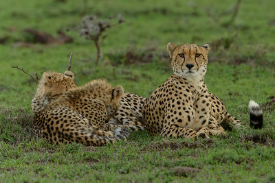 Cheetah Family Masai Mara