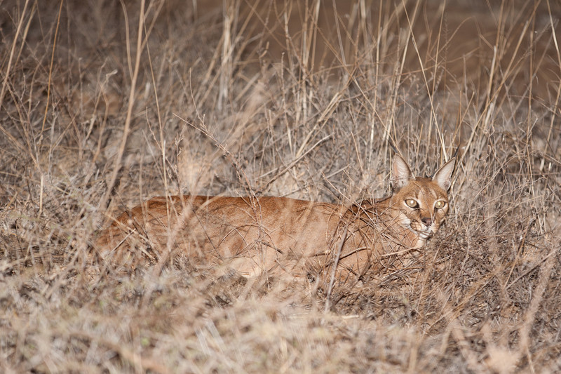 This is the largest of the small cats, and very rare; the guides were very excited to see it and many people commented on the fact that we'd seen one. We were actually lucky enough to spot three during the week, two of them during the day, which is even more unusual.