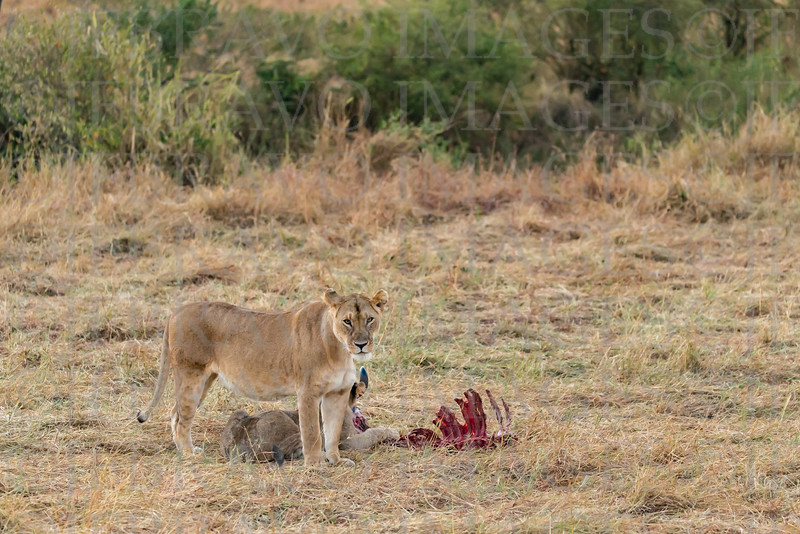 Lioness and carcass