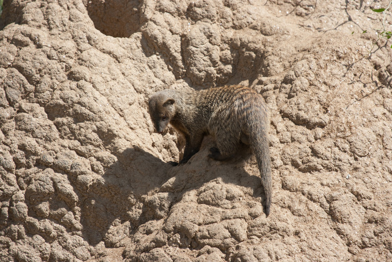 The mongooses had made their home in an old, disused termite mound.