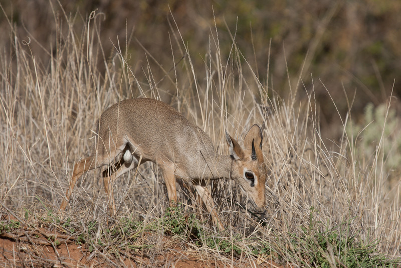 The name (dik dik) has absolutely nothing to do with the angle of this photo...