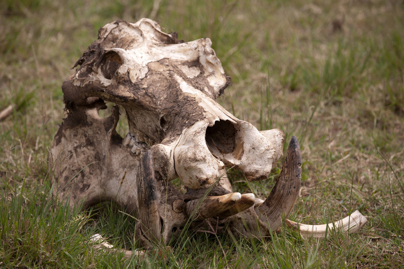This is a hippo's skull. What on earth could kill a hippo, you may well ask? Drought, apparently.
