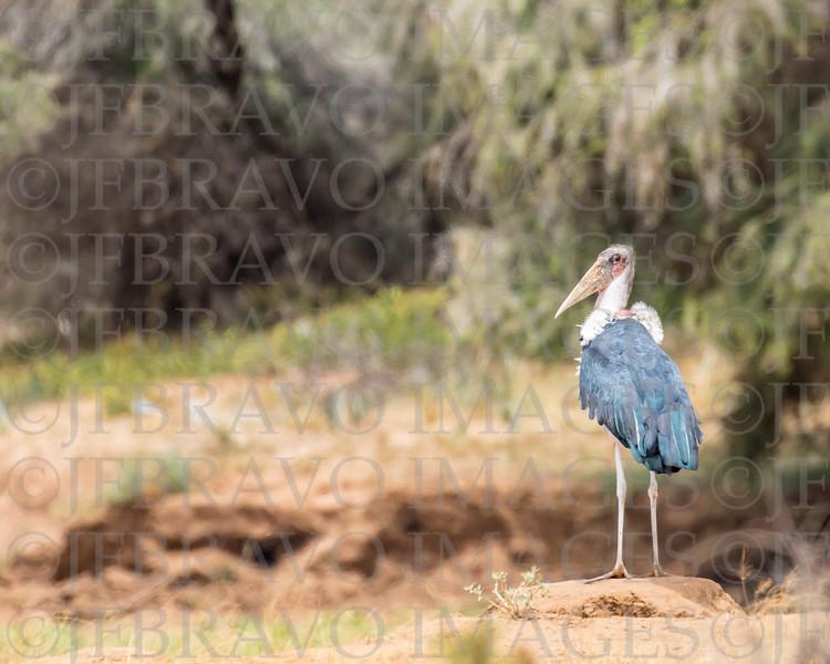 Marabouk Stork