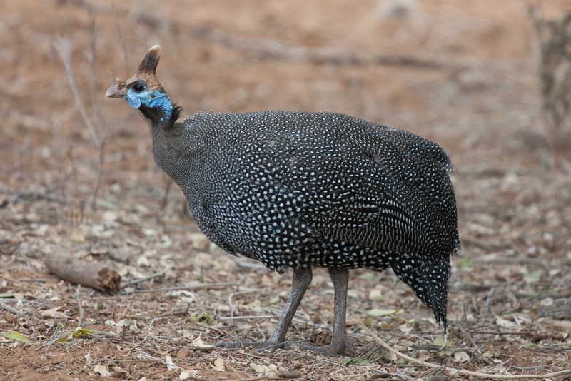 We spied two types of guineafowl - helmeted and vulturine. They hang around in large groups making gobbling noises like turkeys and are generally entertaining. They're also a favourite on every predator's menu.