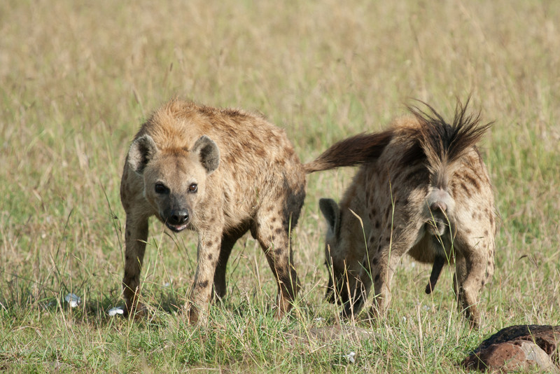 The hyaena is displaying to it's mate. They were excited by the proximity of the wildebeest kill.