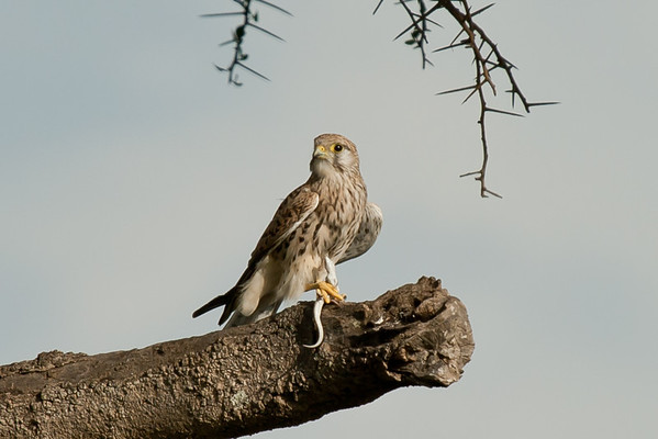 Notice the mm-mm lizard. The kestrel chowed down its head before discarding the rest of the carcass.