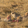 Cheetah Feast