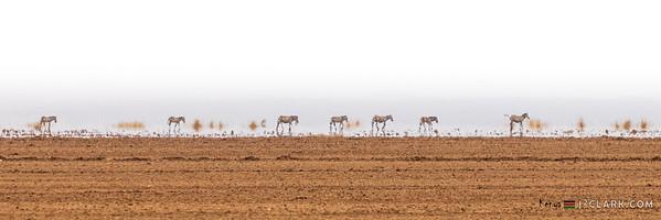 Zebras, Amboseli National Park