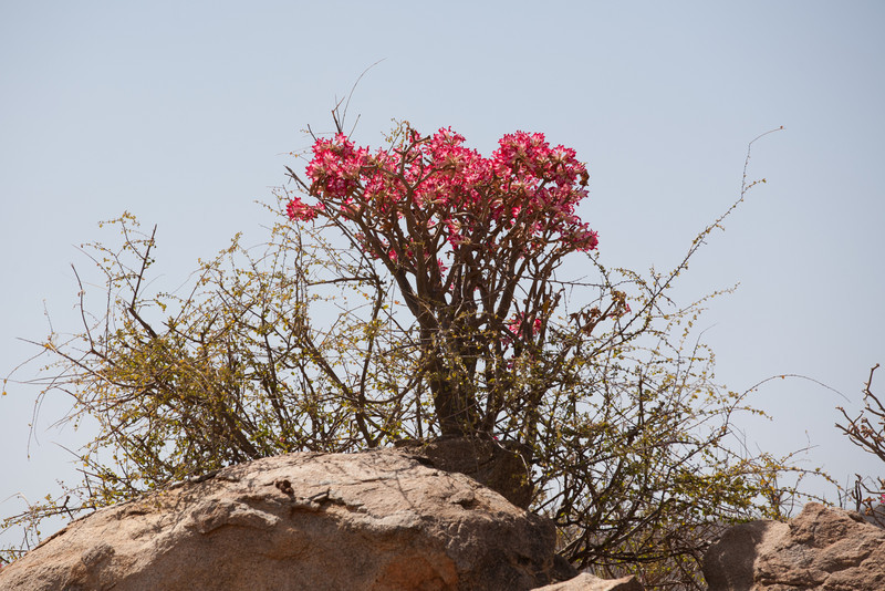 A desert rose. The prettier it is, the drier the land is.