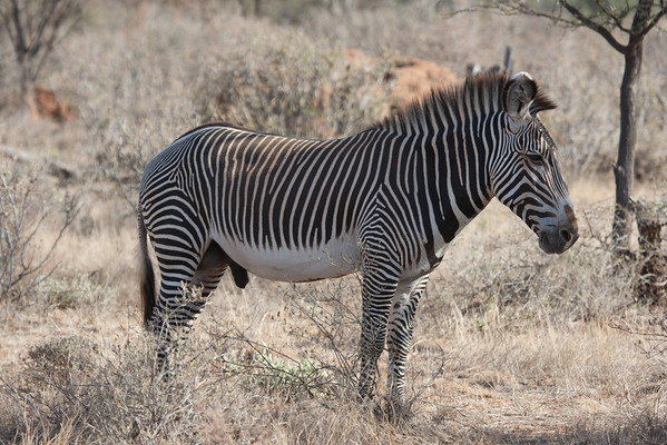 "You can tell a grevy's zebra from the distinctive white belly. This is a male, go figure. Another of the Samburu ""special five""."