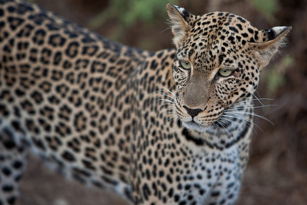 We were trailing this leopard on its dik dik hunt for about half an hour. It paid no heed at all to the jeep, although I suspect the jeep may have impacted its success.