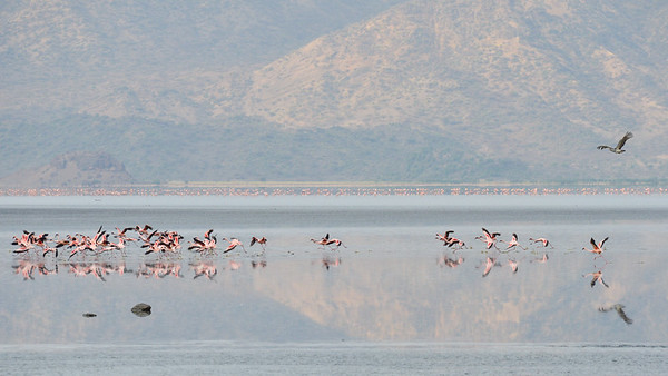 Lesser Flamingoes panicked by a Kori Bustard