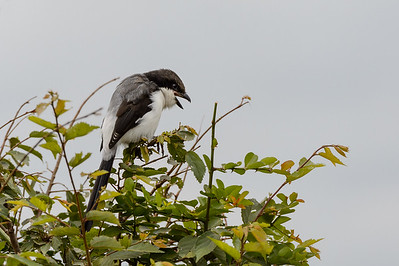 Long-tailed fiscal shrike coughing up pellet