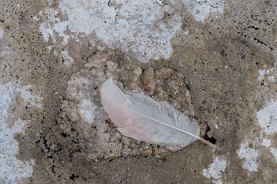 Salt-encrusted flamingo feather