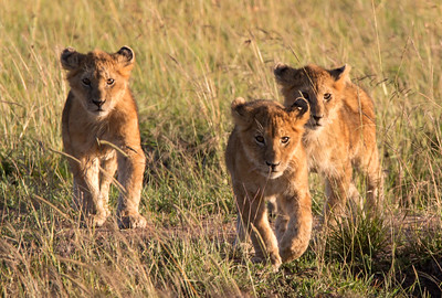 LION CUBS FOLLOWING MOM